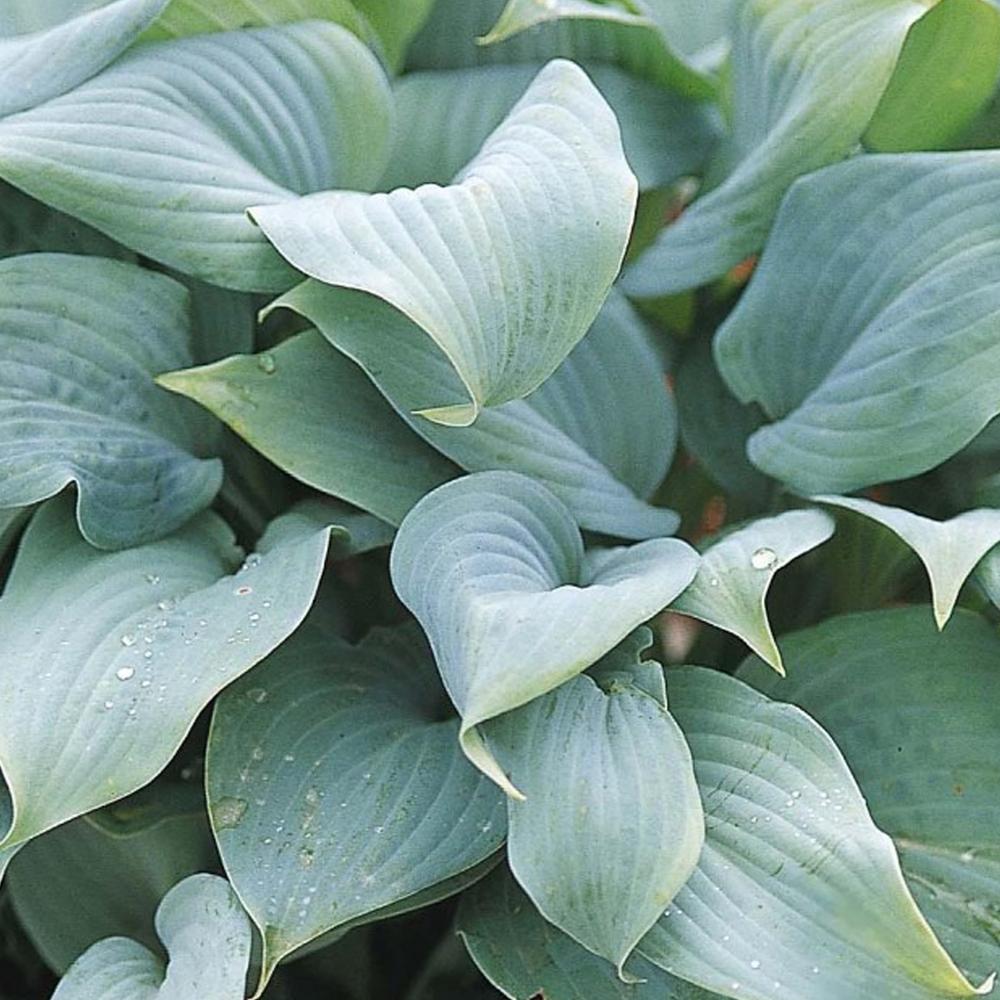 Hosta Fragrant Blue 9cm Plants From Gardeners Dream Uk