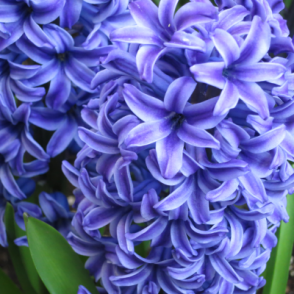 Hyacinth Blue Mixed Bedding Outdoor Spring Flowering Bulbs Plants Orientalis