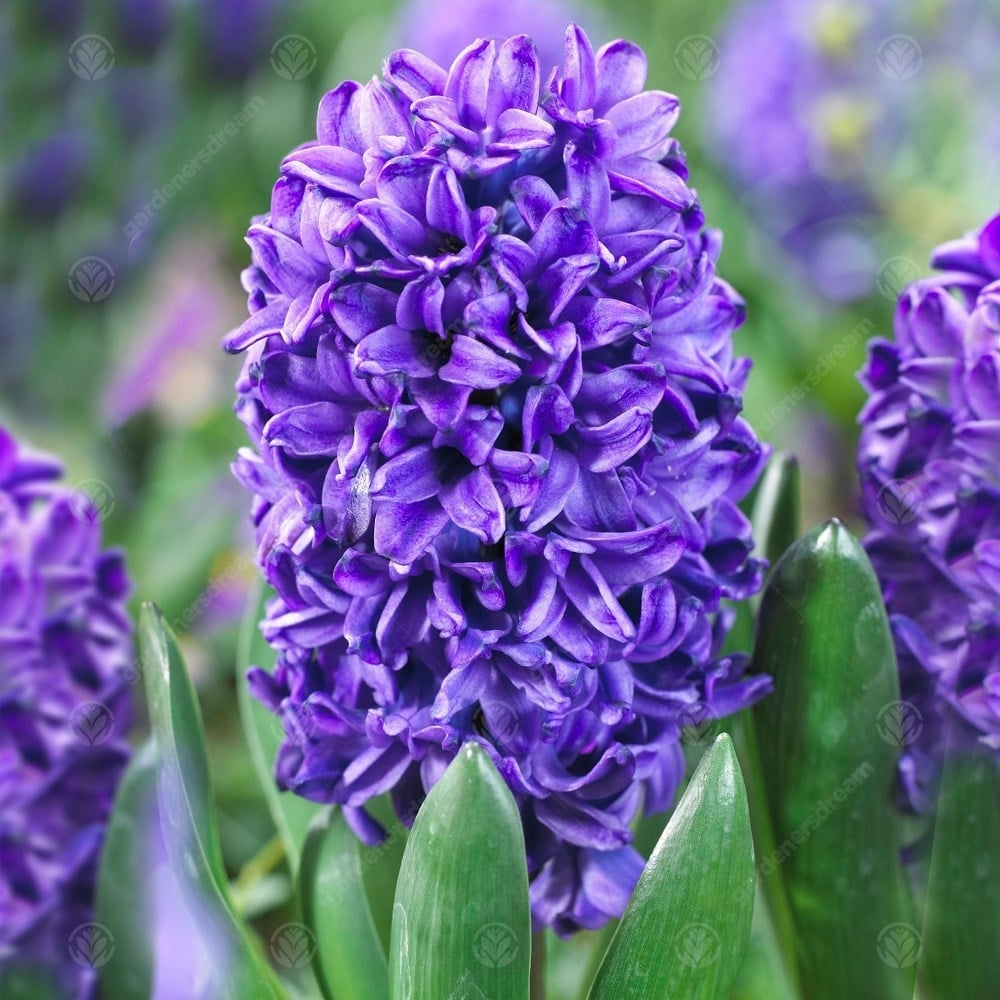 Hyacinth Blue Trophy Spring Flowering Bulbs Gardenersdream