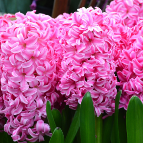 Hyacinth Pink Mixed Bedding Outdoor Spring Flowering Bulbs Plants Orientalis