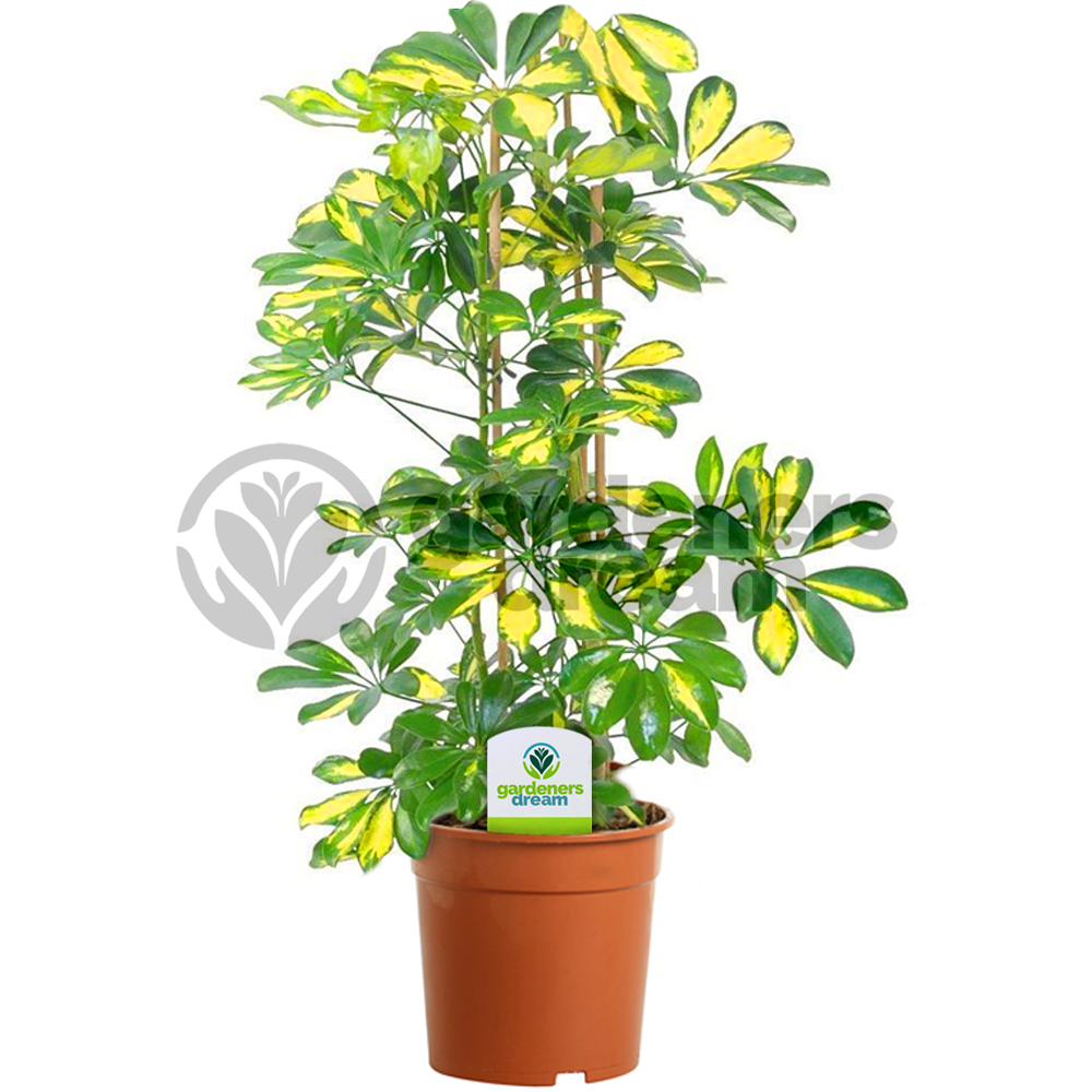 Gardenersdream indoor plant mix 3 plants house office live potted pot plant tree mix a - Indoor trees plants ...