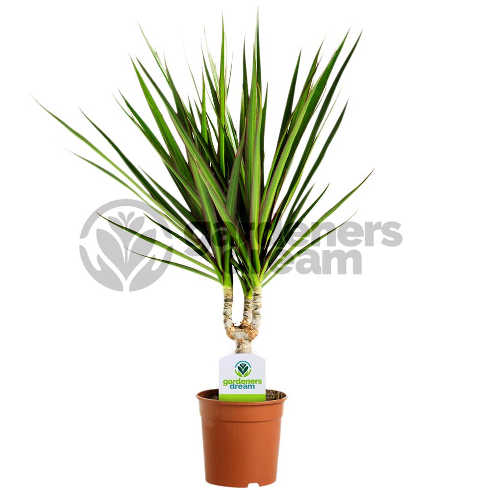 GardenersDream Indoor Plant Mix - 3 Plants - House / Office Live ...