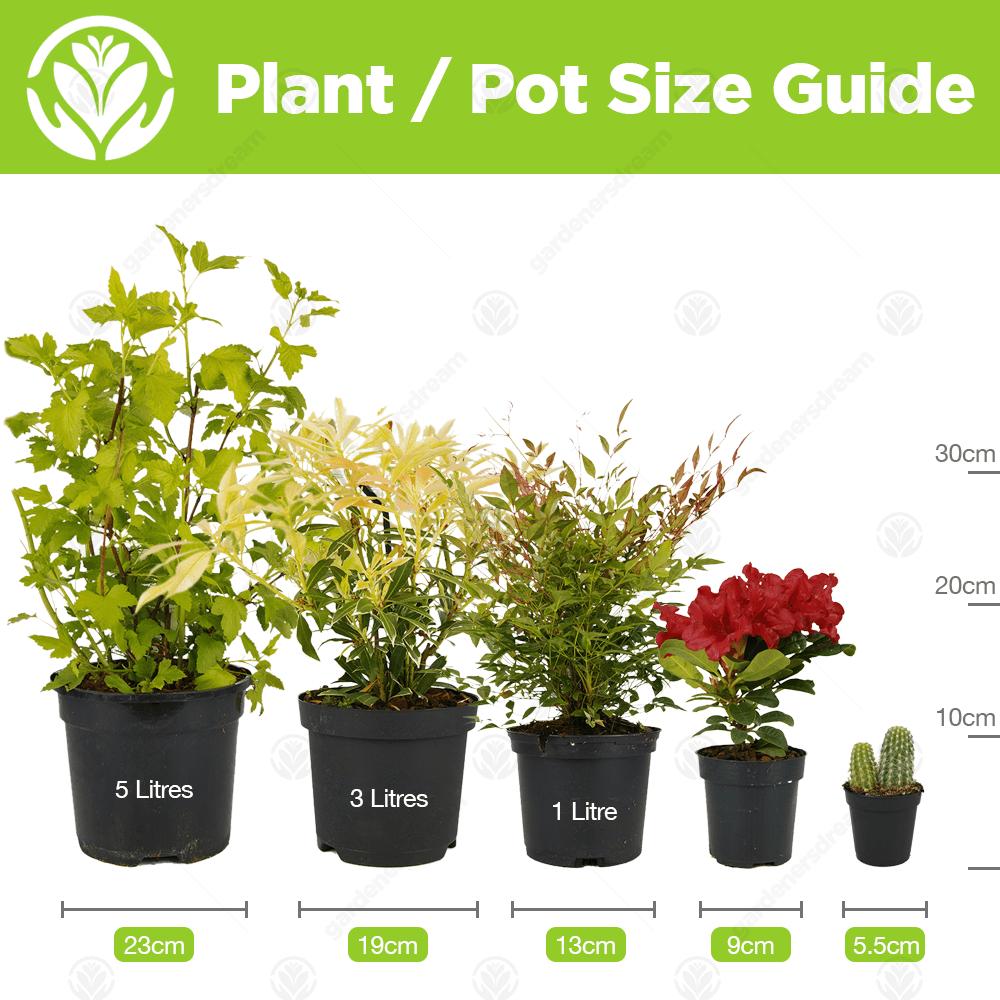 "Lavatera X clementii Mary Hope-Mauve Mary Hope Plante en 3.5/"" pot"