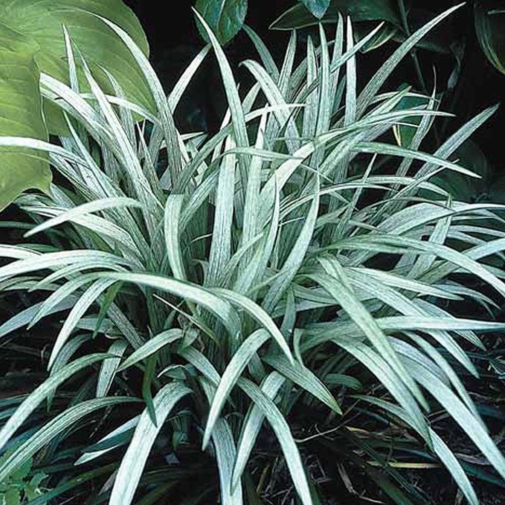 Liriope Muscari Okina Blue Lilyturf Gardenersdream