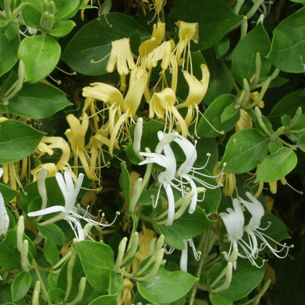 Picture of Live Japanese honeysuckle aka Lonicera j. 'Halliana' Staked Vines Plant Fit 1 Gallon Pot