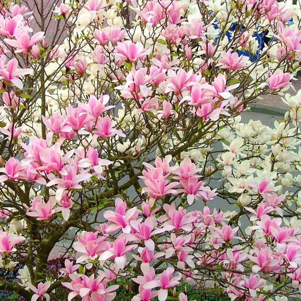 Magnolia Heaven Scent Pink Magnolia Tree