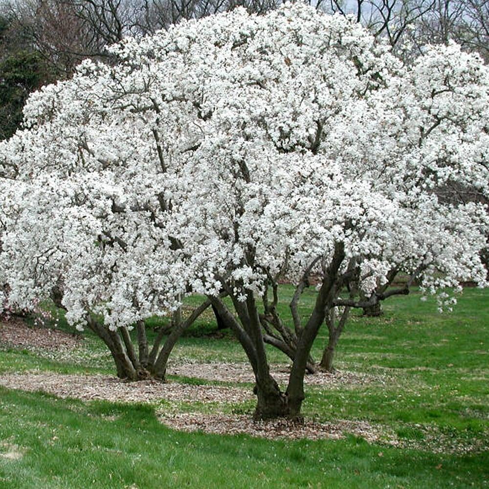 Magnolia Stellata Starry Magnolia Gardenersdream
