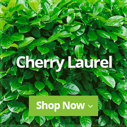 Cherry Laurel Hedging