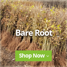 Bare Root Hedging