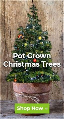 Seasonal - Potted Trees