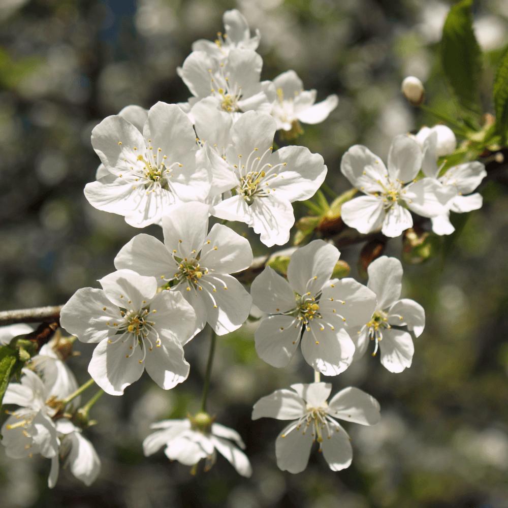 Prunus Cerasus Morello Sour Cherry Tree Free Delivery