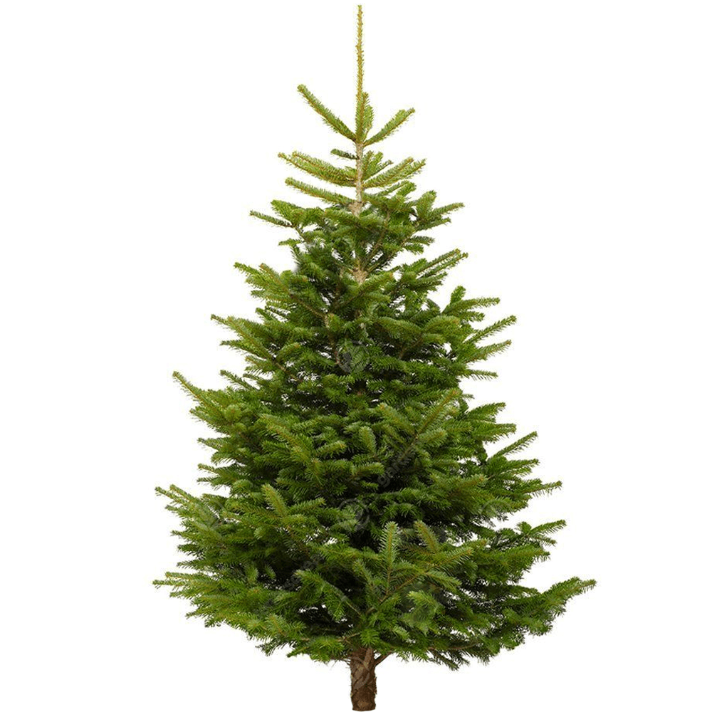 Christmas Tree.Nordmann Fir Fresh Cut Christmas Trees