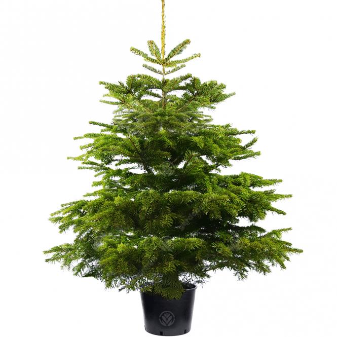 Real Live Nordmann Fir Pot Grown Christmas Tree   2ft 3ft 4ft 5ft 6ft 7ft