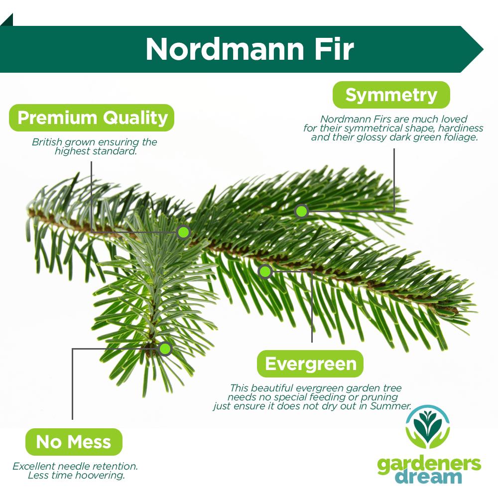 Real Live Nordmann Fir Pot Grown Christmas Tree | 2ft 3ft 4ft 5ft ...