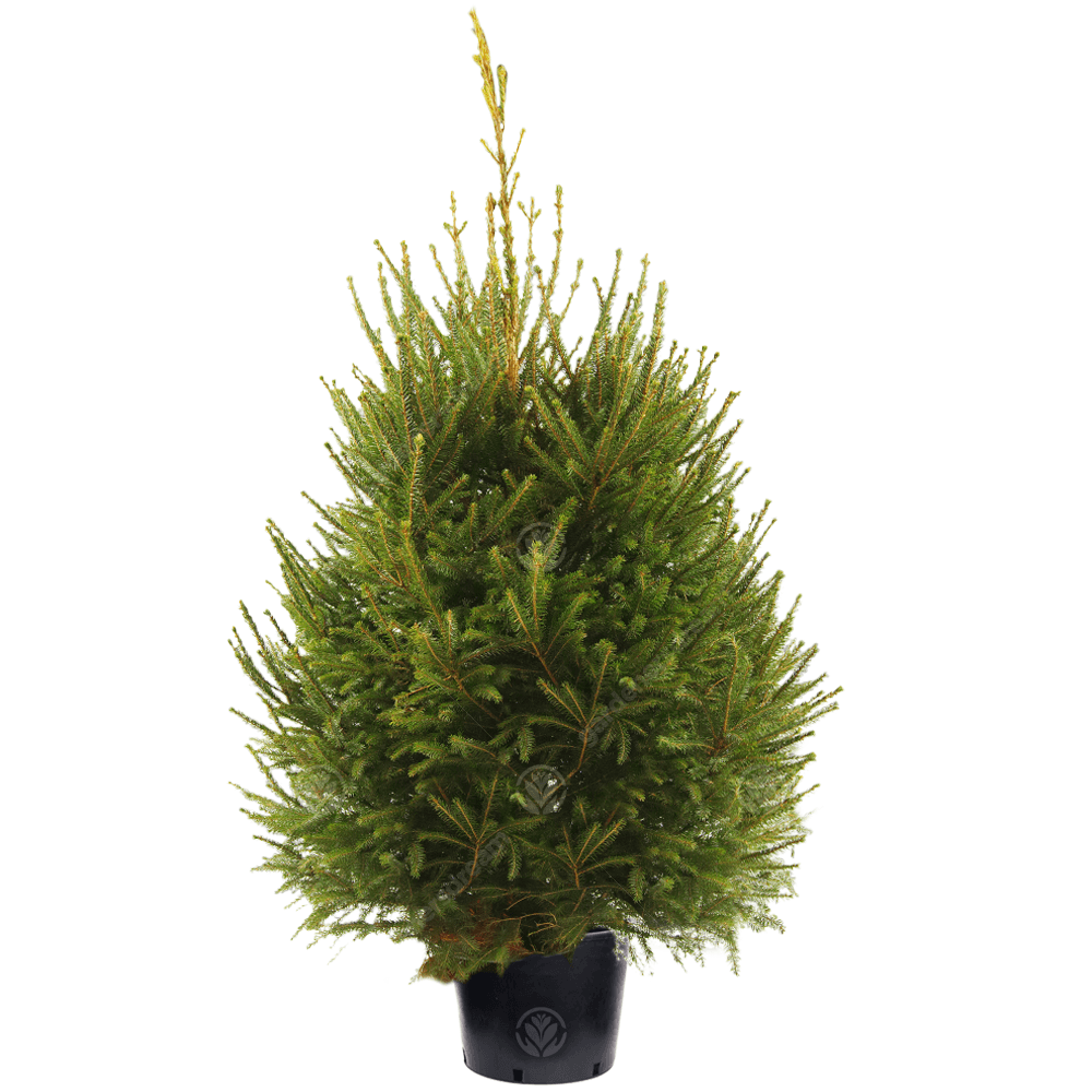 Real Live Norway Spruce Pot Grown Christmas Tree | 2ft 3ft 4ft 5ft
