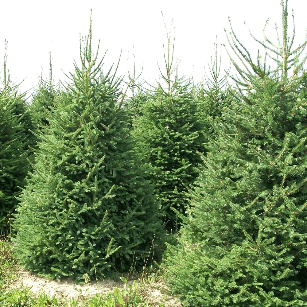 arrives 67704 8210c Norway Spruce Pot Grown Christmas Trees
