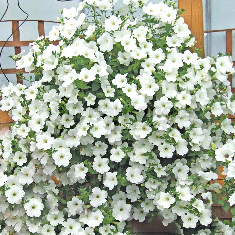 gardenersdream petunia surfinia mix 6 jumbo plug plants for garden hanging baskets tubs. Black Bedroom Furniture Sets. Home Design Ideas