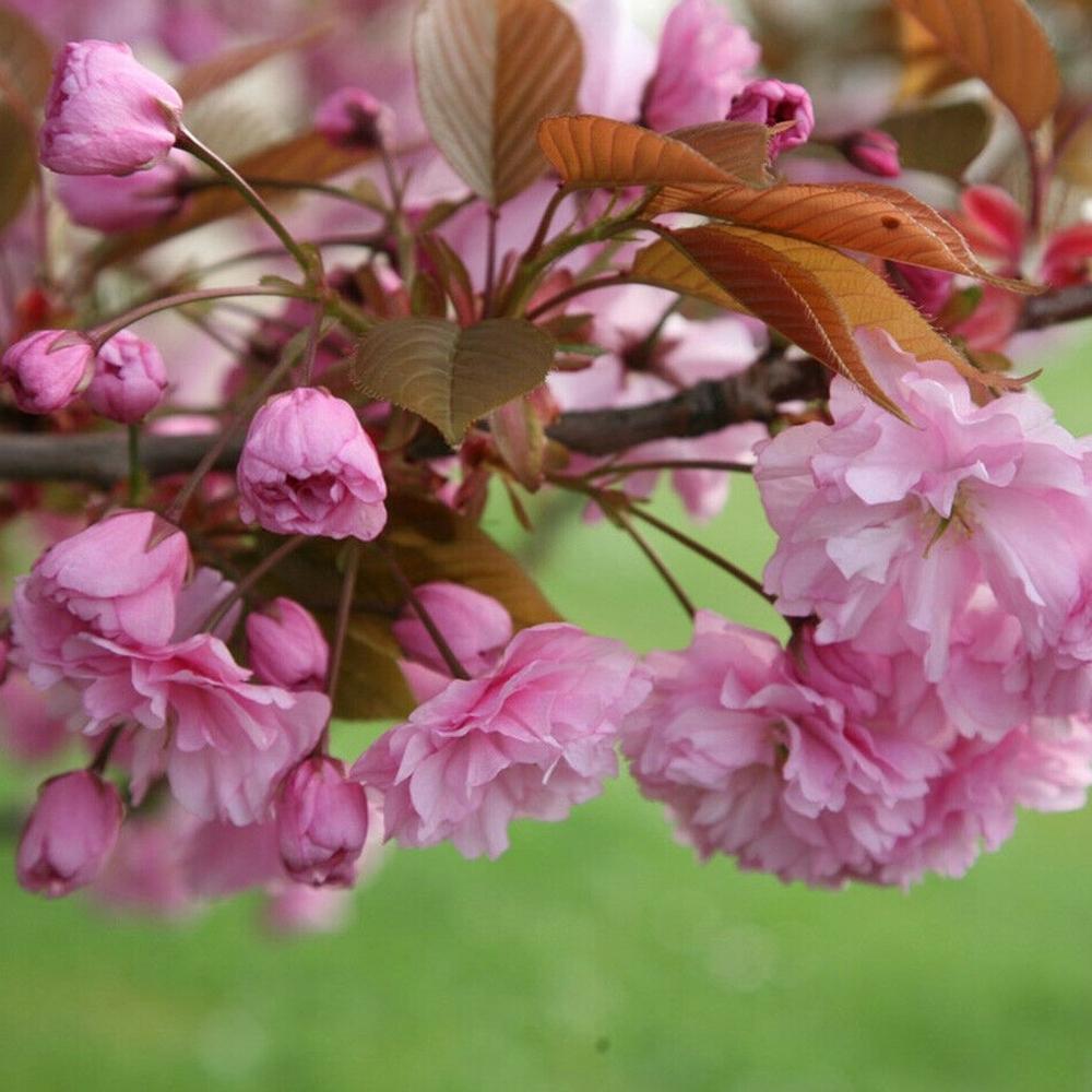 Prunus Kanzan For Sale Garden Patio Tree Free Uk Delivery