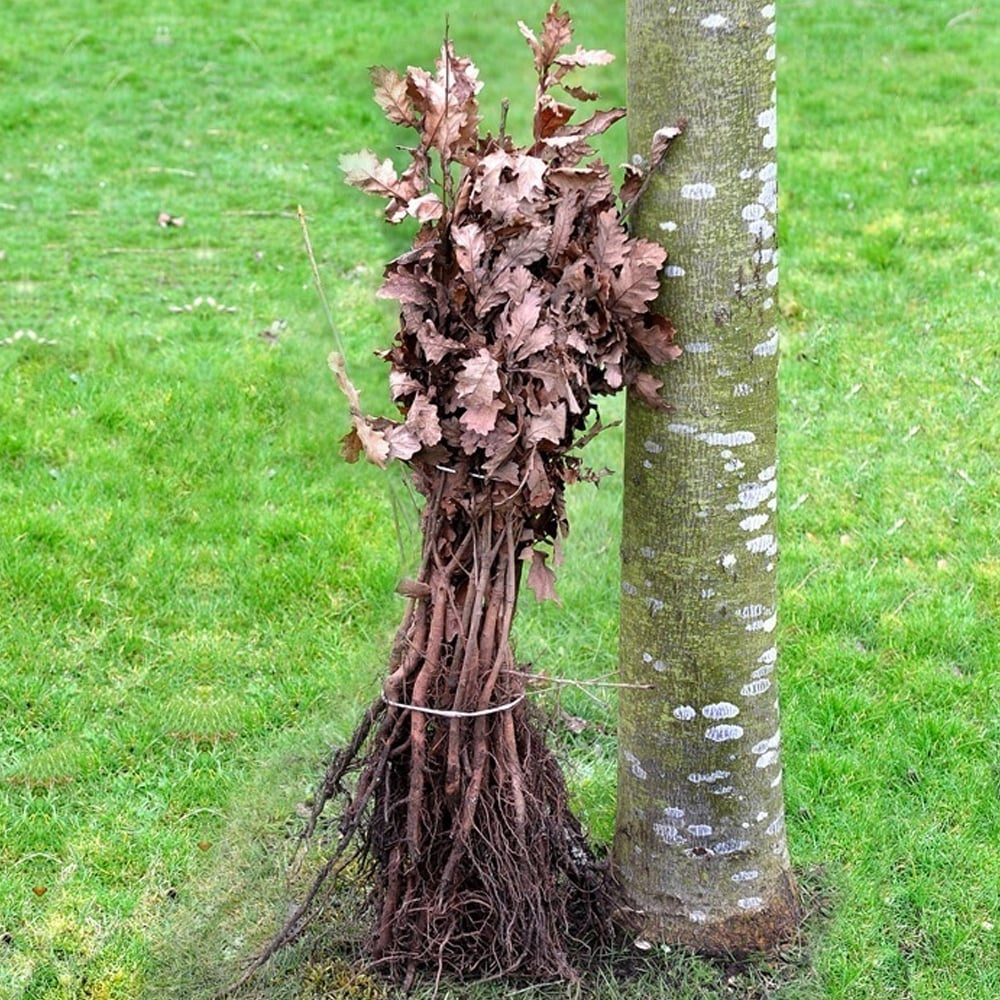 100 bare root fruit trees uk fruit trees for sale mail orde