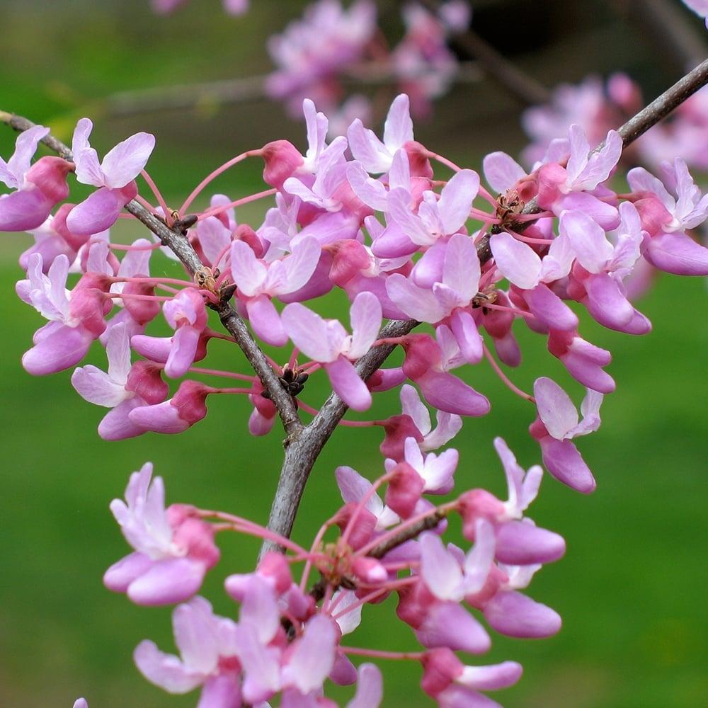 Robinia X Slavinii Hillieri Pink Acacia Tree