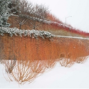 Salix Alba Vitellina Britzensis 60-90cm (2-3Ft) Bare Root Scarlet Willow Hedge