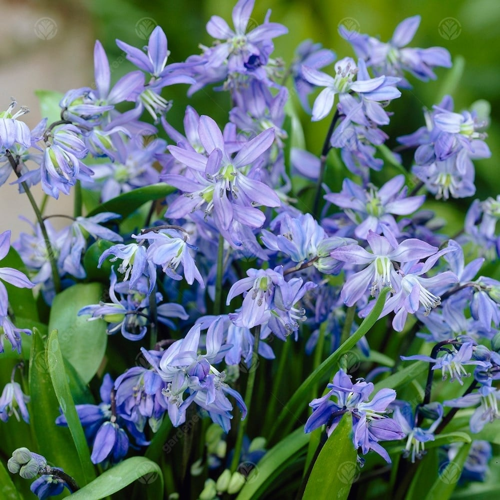 50 SCILLA SIBERICA BULBS DWARF PERENNIAL SIBERIAN WOOD SQUILL IN STOCK