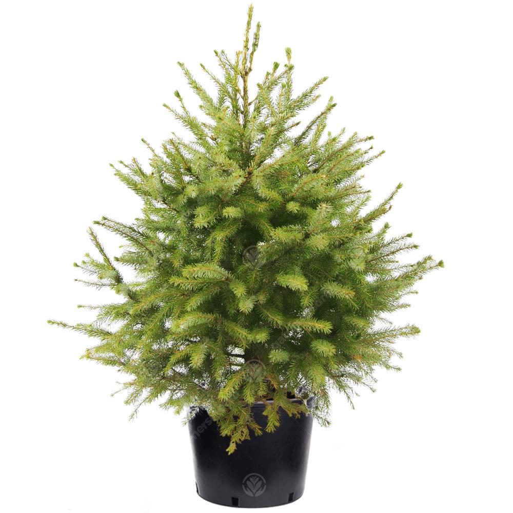 Real Live Serbian Spruce Pot Grown Christmas Tree   2ft 3ft 4ft 5ft 6ft 7ft