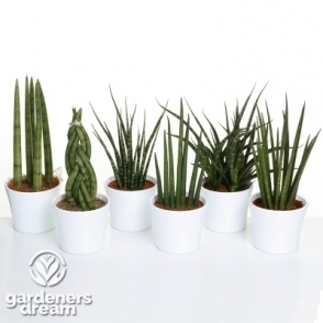 Set Of 3 Mixed Sansevieria Luxury Plants In Ceramic Pots