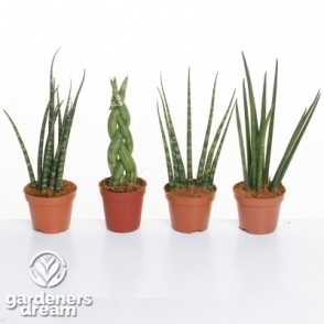 Set Of 3 Mixed Sansevieria Luxury Plants In Plastic Pots