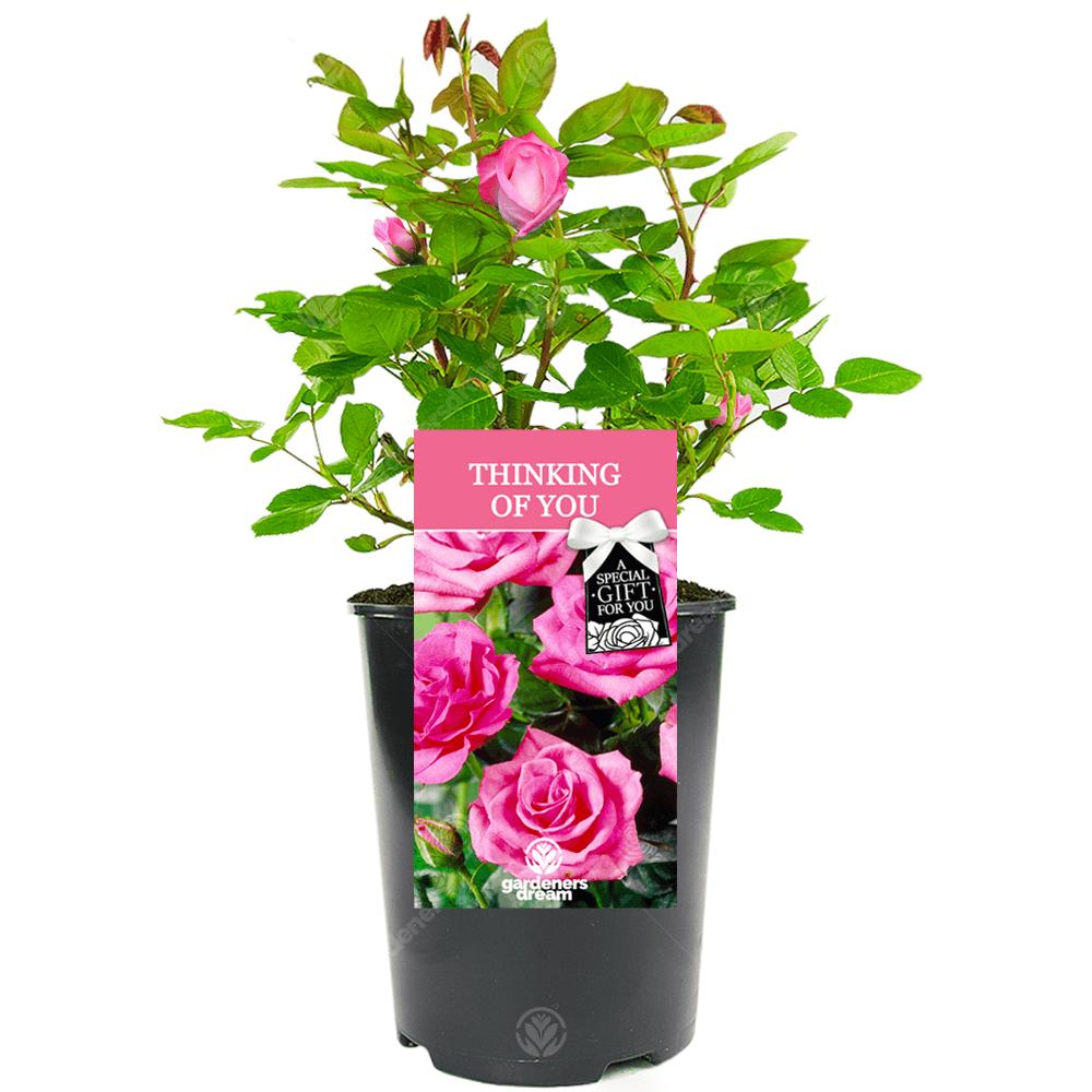 THINKING OF YOU ROSE | Thinking of You Rose Bush | Pink Roses
