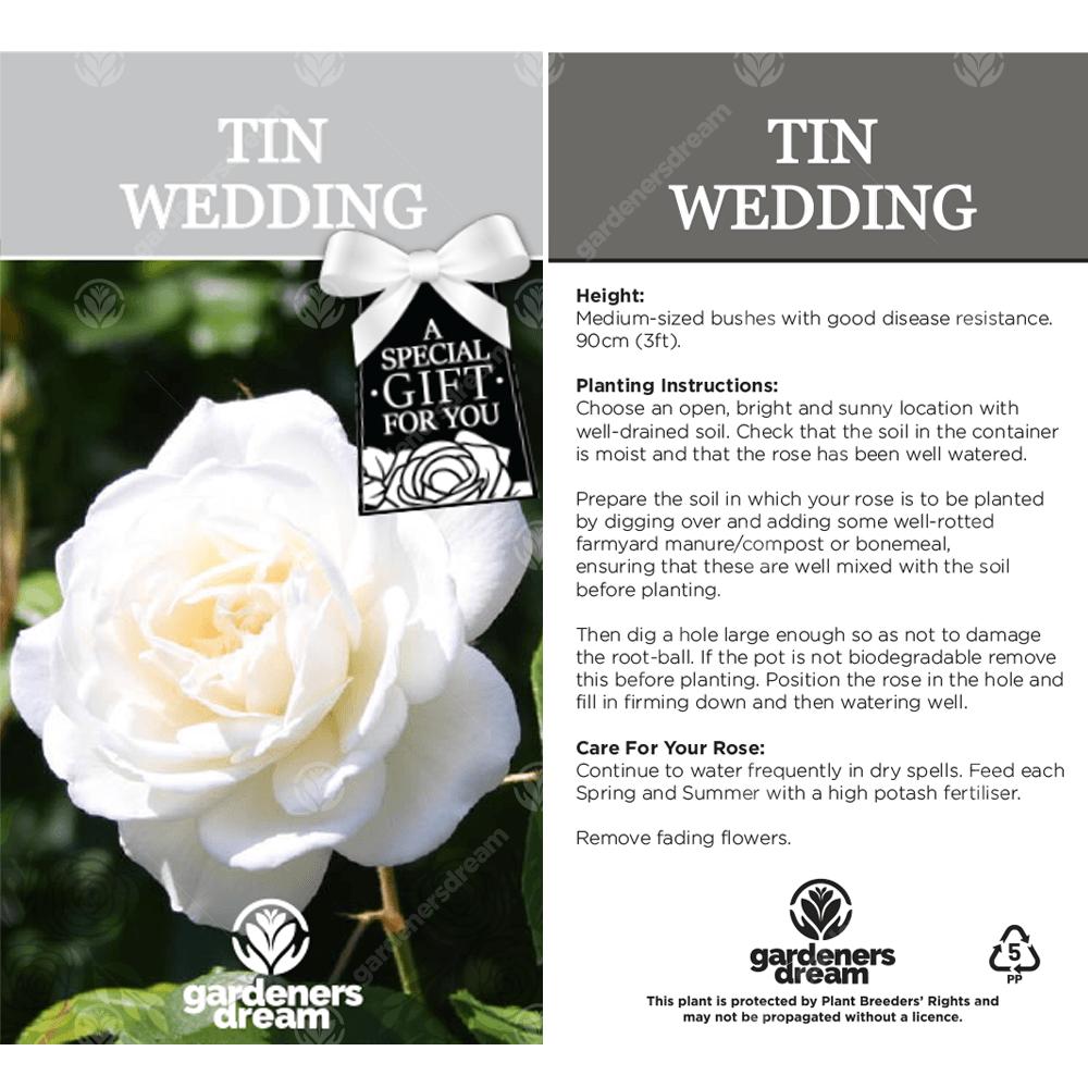 Tin Wedding Anniversary White Rose Bush Free Delivery