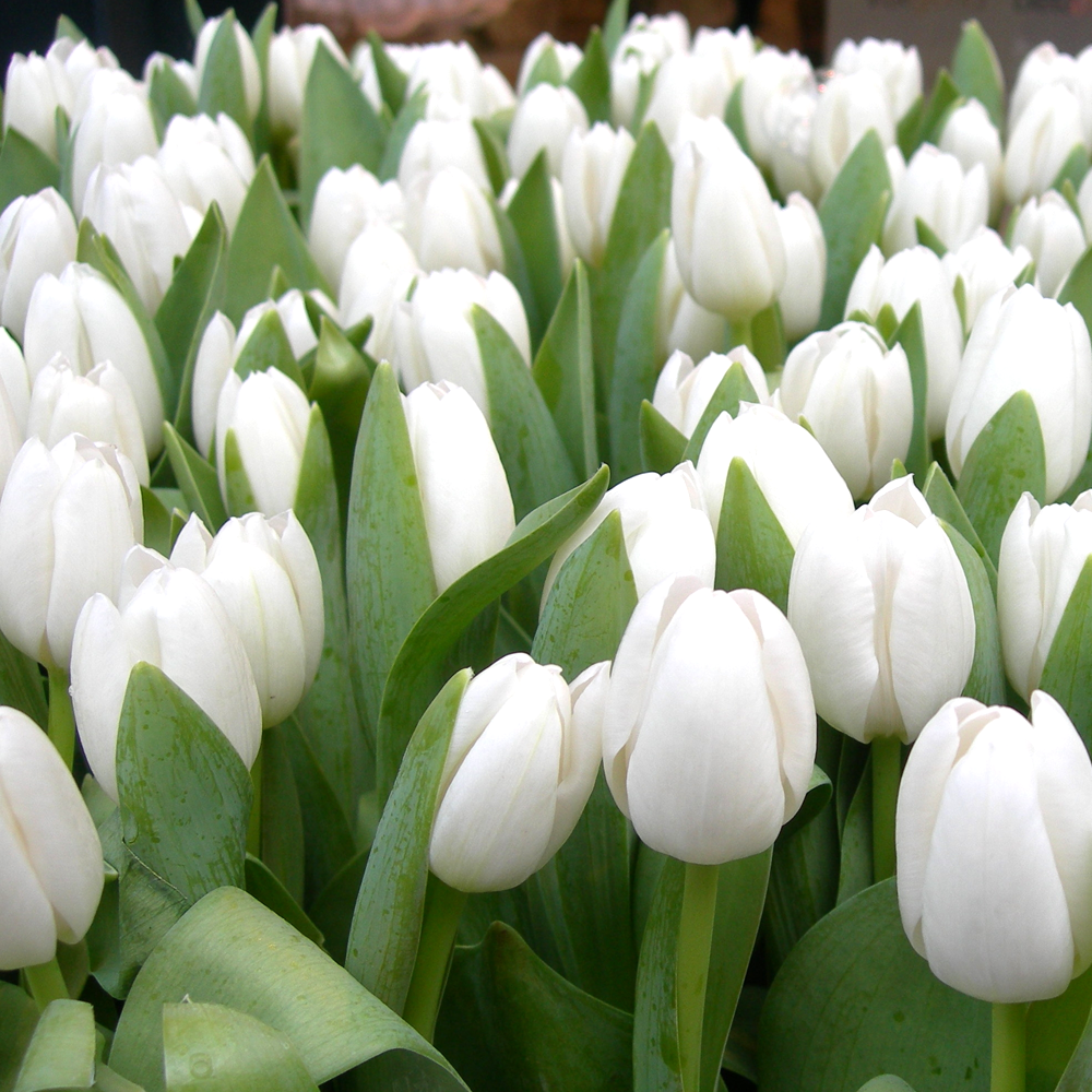 Tulip white dream indoor outdoor spring flowering bulbs plants tulip white dream indoor outdoor spring flowering bulbs plants mightylinksfo
