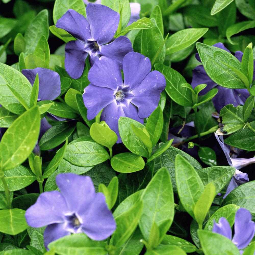Picture of Live Bowles Periwinkle aka Vinca minor 'Bowles' Plant Fit 1 Gallon Pot