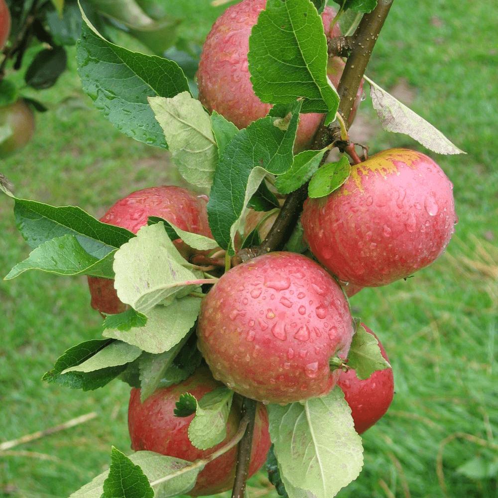 Malus domestica Worcester Pearmain Eating Apple Tree Fruit Tree M26 - Dwarfing 4-5ft